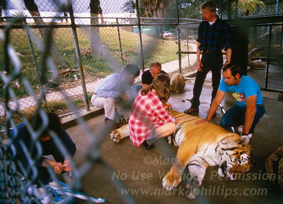 Moving Bengal Tiger from the Zoo for the City of Tampa to Lowry Park Zoo in Tampa, Florida