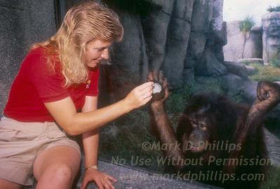 Orangutan holding at window in new habitat Lowry Park Zoo in Tampa, Florida