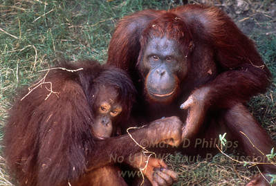 Male and Female Orangutan holding hands at Lowry Park Zoo in Tampa, Florida