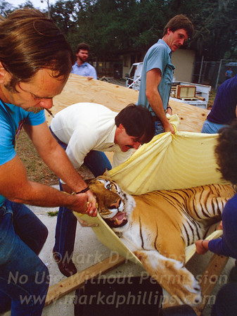 Moving the Bengal Tiger from the old Zoo for the City of Tampa to Lowry Park Zoo in Tampa, Florida