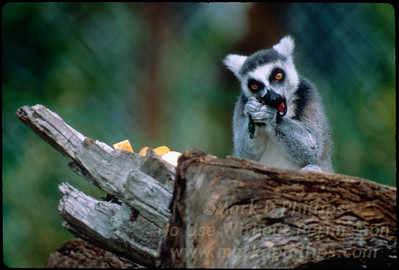 Ring Tailed Lemur eats at Lowry Park Zoo in Tampa, Florida