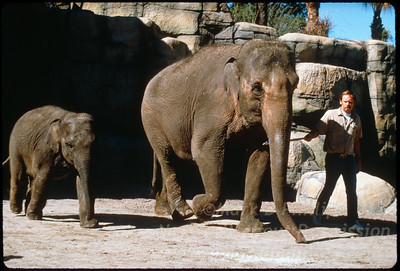Mother Elephant and son at Lowry Park Zoo in Tampa, Florida