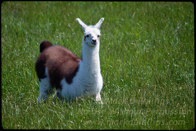 Llama in the grass at Lowry Park Zoo in Tampa, Florida