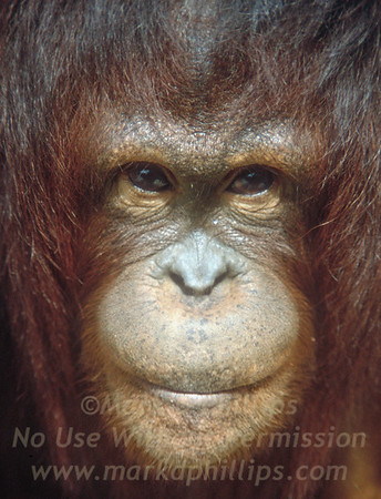 Female Orangutan at Lowry Park Zoo in Tampa, Florida, with incredible face