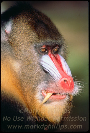 Male Mandrill  looks fierce in the morning light at Lowry Park Zoo in Tampa, Florida