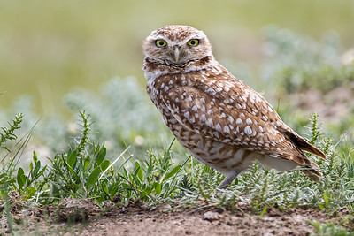 Burrowing Owl 12x18 Metal Print $125