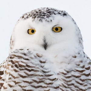 Female Snowy Owl - 10x10 Metal $70