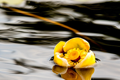 SOLD - Water Lily 8x12 Metal Print $70