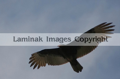 A turkey vulture in flight