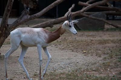 Dama Gazelle 2
