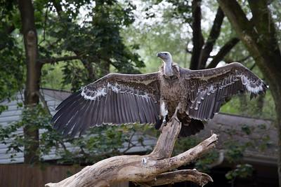 Ruppell's Gruffon Vulture