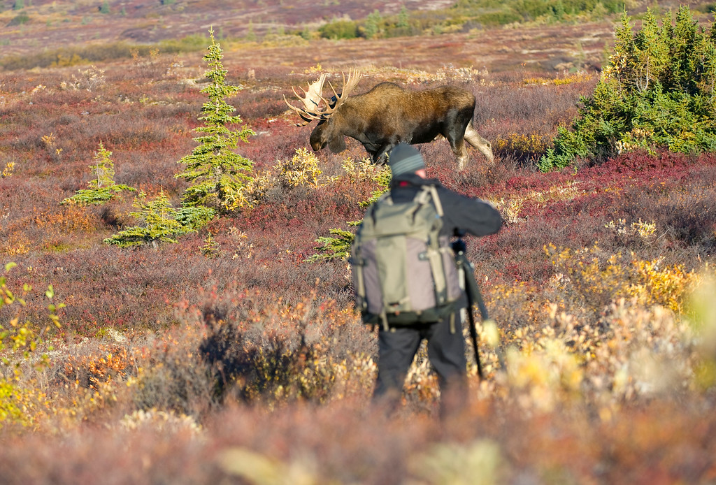 "Shooting a moose in Denali National Park, Alaska. He will go right from point ""A"" to point ""B"". Don't be between him and point ""B""."