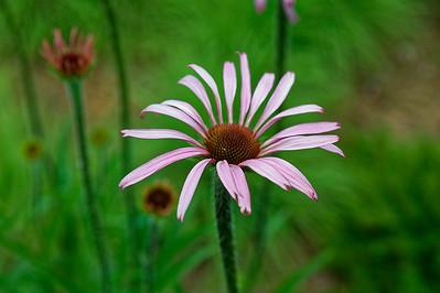 Cone Flower - - The North Carolina Arboretum