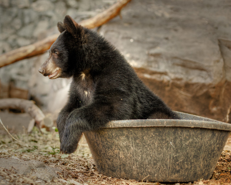 Week 14 at the zoo. 8/11/11 Baby bear is active and playful today. His tub is dry, but he was having a good time playing with it.