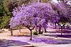 Jacaranda in Elysian Park