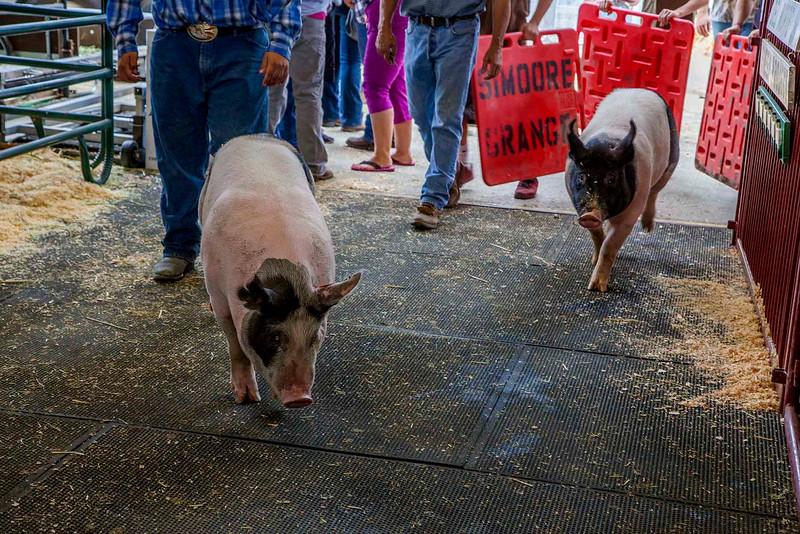 Two pigs take a detour.