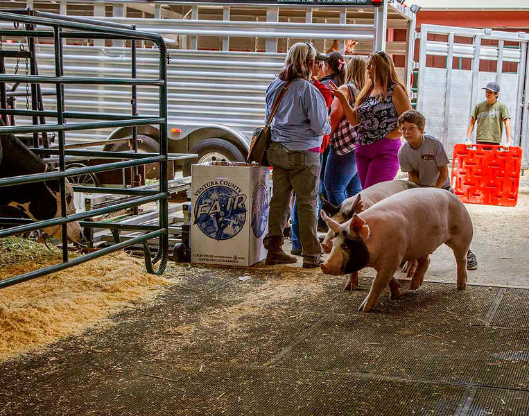 The red panels guide the pigs to their pens. Semi-successfully.