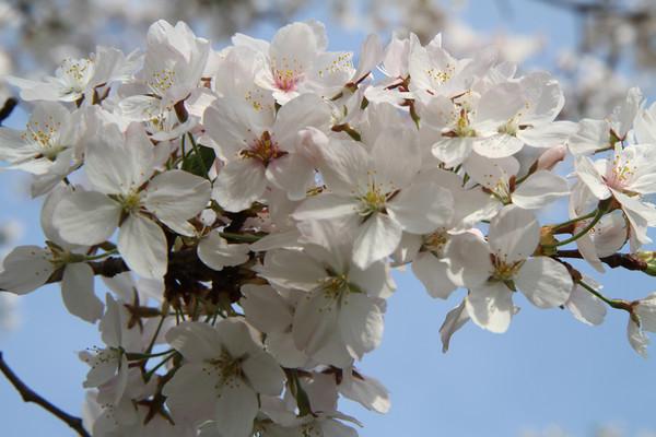 2013 Cherry Blossoms