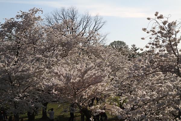 Cherry Blossoms - 2015