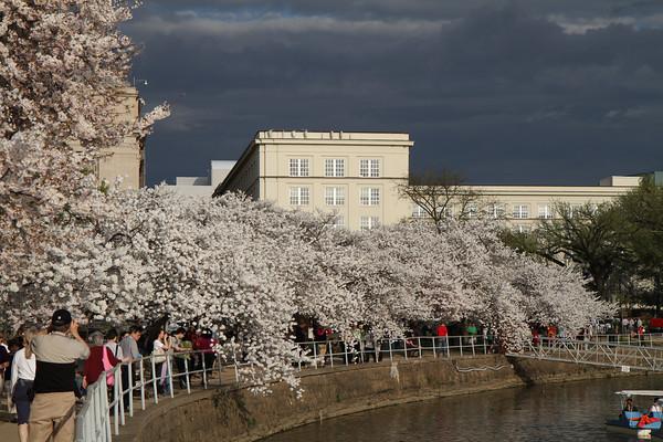 Cherry Blossoms 2012