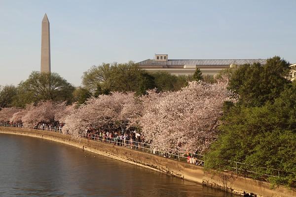 Cherry Blossoms - 2016