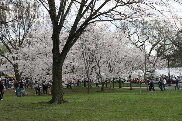 Washington DC Cherry Blossoms 2009