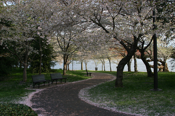 Washington DC Cherry Blossoms 2007