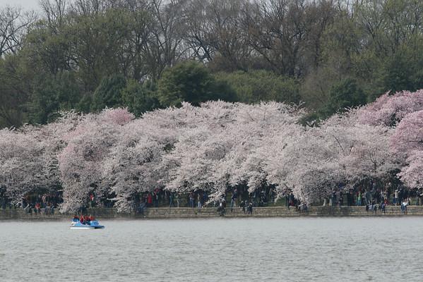 Washington DC Cherry Blossoms 2008