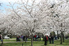 2008 Cherry Blossoms 3-29