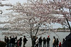 2008 Cherry Blossoms 3-29
