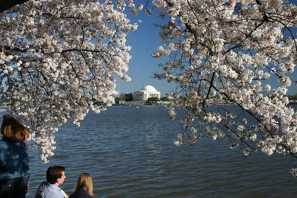 Washington DC Cherry Blossoms-2005