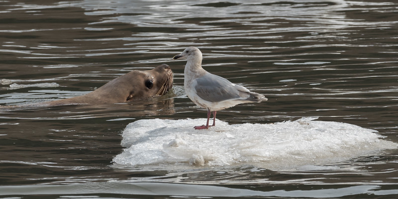 Glaucus Winged Gull floating upstream with the incoming tide, passing a Steller Sea Lion fishing for Eulachon - Skeena River, British Columbia