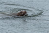 Steller Sea Lion fishing for Eulachon on the Skeena River, British Columbia
