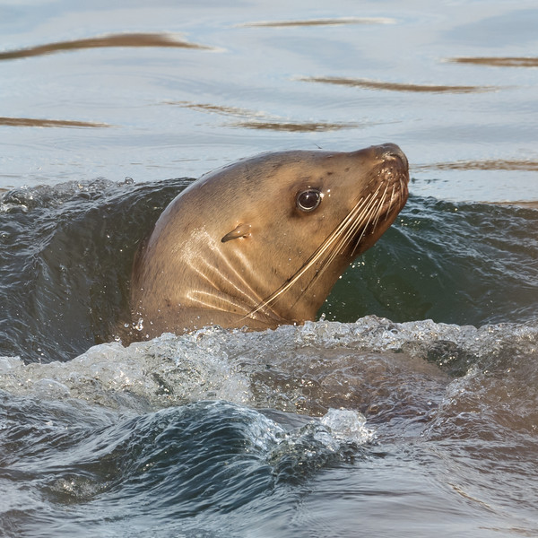 Steller Sea Lion on the Skeena River, British Columbia