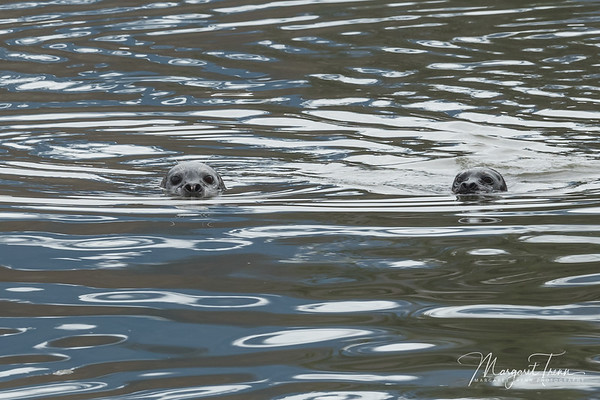 Harbour Seal Duo