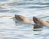 Steller Sea Lions fishing for Eulachon on the Skeena River, British Columbia