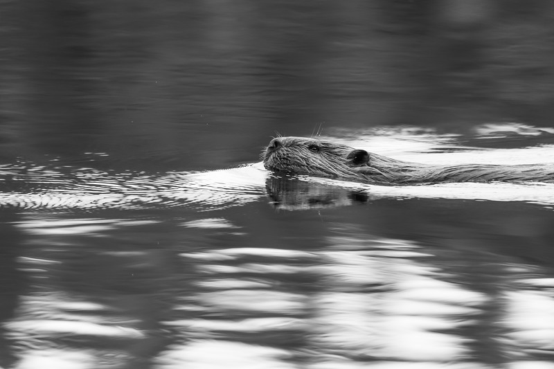Beaver on a small lake in northwestern British Columbia