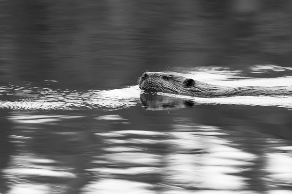 Beaver in Green and Silver Water
