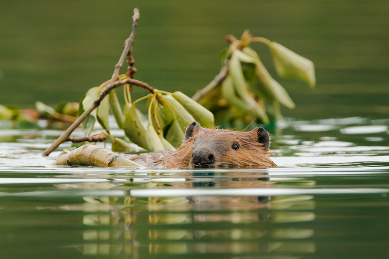Beaver returning to its lodge on Boya Lake in northwestern British Columbia with food and building materials