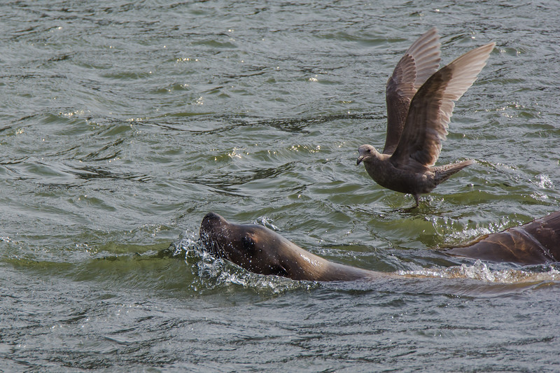 Steller Sea Lions making their way upstream on the Skeena River following the Eulachon Run