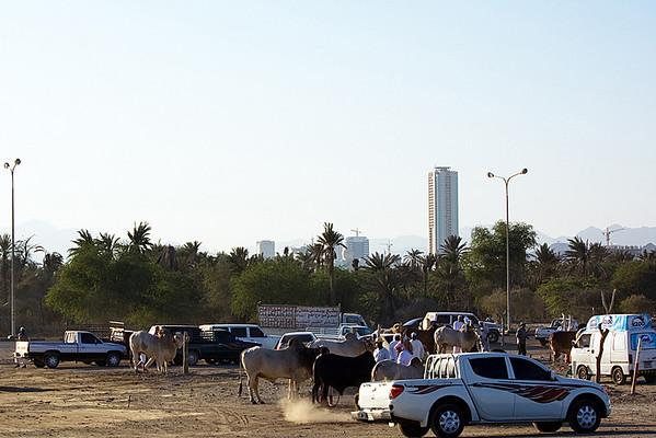 Bull Fighting (38 Photographs)