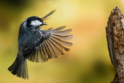 Coal Tit in flight (IR)