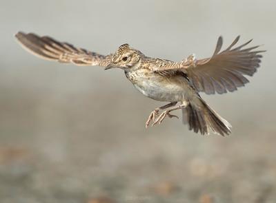 Birds in flight - Crested Lark