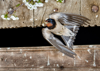 The Barn Swallow (Hirundo rustica) is the most widespread species of swallow in the world. It is a distinctive passerine bird with blue upperparts, a long, deeply forked tail and curved, pointed wings. It is found in Europe, Asia, Africa and the Americas.