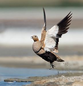 Black-bellied Sandgrouse - in flight.
