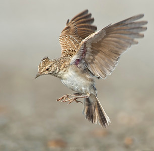 Birds in flight - Crested Lark