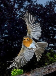 Robin approaching... - Image taken at feeder -   Nikon D7000 Exposure 0,004 sec (1/250) Aperture f/8.0 Lens 26 mm ISO 100