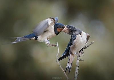 Barn Swallow (Hirundo rustica) .... feeding in flight