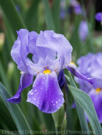 Iris after the rainfall