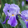 Iris after the rainfall